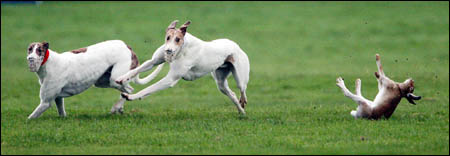 A typical scene at muzzled coursing events: hares are tossed about like playthings