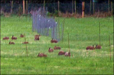 Captive hares waiting to be terrorized by coursing club