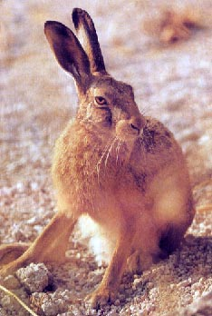 Gentle hares...netted, injected, ear tagged,terrorised, hurt and killed for fun.