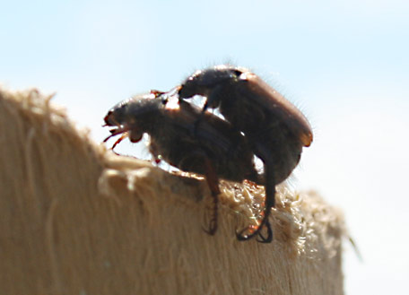 Beetle Love: the area is popular with flying beetles, but they are small and harmless