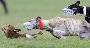 A flees in terror an Irish coursing event