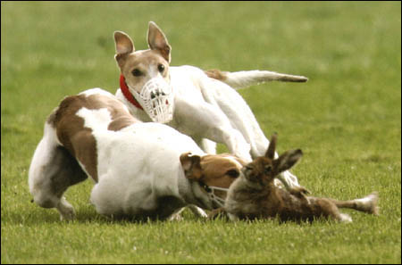 Greyhounds maul hare at premier Irish coursing event