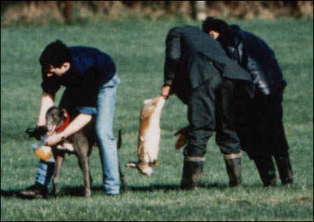 A greyhound has the blood washed from its mouth after the dying hare has been removed for finishing off...