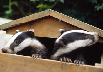 HELP THE BADGERS