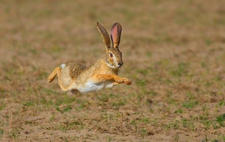 A Panamanian Tapeti Hare: Panama has just banned live hare coursing...Ireland still allows it!