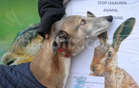 Greyhound and hare alike are cruelly ill-treated in coursing