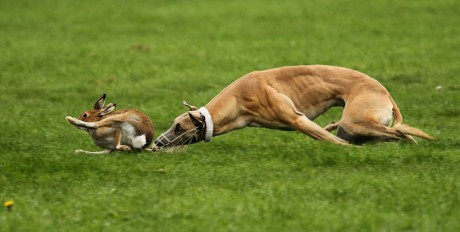 An Irish hare desperately trying to escape from a greyhound during a cruel coursing event.