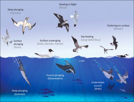 Feeding methods of Irish seabirds. © Michael O'Clery