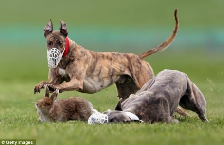 "A terrified hare fight for its life at ""Irish Cup"" coursing event"