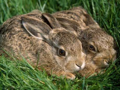 Hares untouched by coursing horror