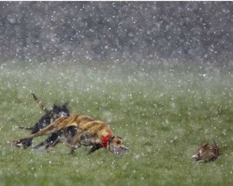 Photo by John Kelly of hare coursing in snowfall