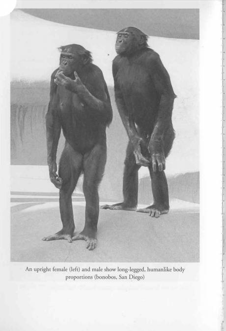 Male and Female Bonobos