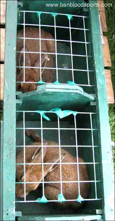 Captured hares prior to coursing...