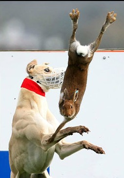"A hare is ""tossed"" during coursing: the NPWS reports quoted in the article refers to this type of ""sport"""