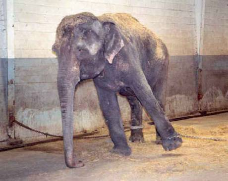 ELEPHANT ABUSE BY THE CIRCUS.