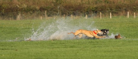 Hare being chased in water-logged Irish coursing field