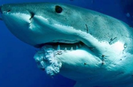 Great White shark with cancer tumor in it's mouth. Never seen before