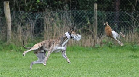 "Sport for ""Greyhound Nuts"" followers..."