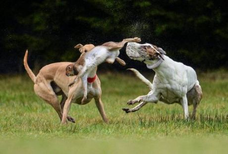 irish_cup_2014_coursing_bloodsport.jpg