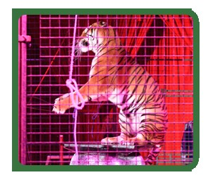 ANIMALS SUFFER GREATLY IN THE CIRCUS